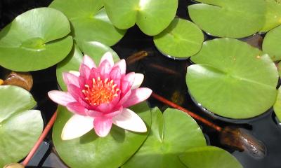 タライに咲く一輪の花