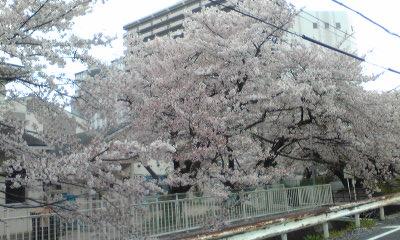 桜の下を歩けるようになっているのです!