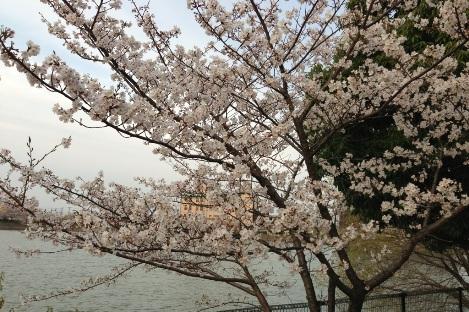 強風で桜が散りそうでした!