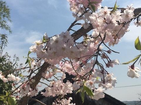 ママウエのお好みが枝垂れ桜